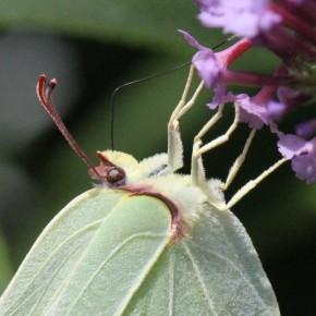 Le dessus de la massue antennaire est brune chez G.rhamni, blanc chez G. farinosa, mais chez nous ce caractère distinctif ne sert pas.