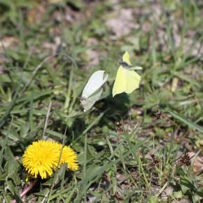 Visiblement la femelle est plus attirée par les fleurs que par le galant.