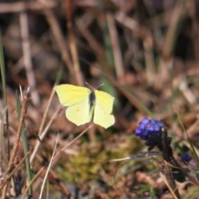 À la lisière de la forêt, un mâle s'approche d'une fleur de Muscari, le 1 avril 2013.