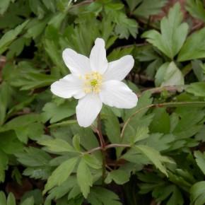 La fleur est solitaire, elle ne contient pas de nectar, mais est fertilisée par les insectes qui consomment le pollen. C'est une plante entomophile.