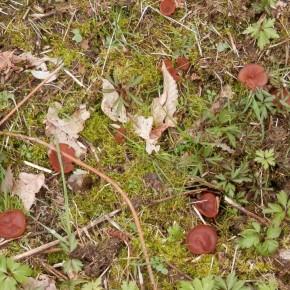 Où la Sclérotinie tubéreuse a remplacé les Anémones des bois, ici une belle touffe pour une première rencontre.
