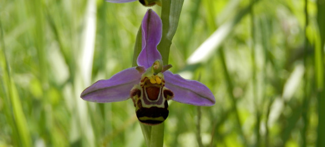 Ophrys apifera (Hudson, 1762) – L'Ophrys abeille