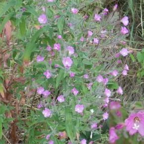 Malgré son nom de Grand Sphinx de la vigne, sa plante hôte préférée est l'Epilobe. Ici l'Epilobe hérissé. Les Ményanthacées et les Onagracées sont les familles de plantes dont la chenille se nourrit.