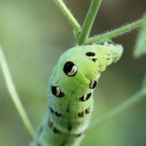 Les taches dissuasives sur les premiers segments abdominaux ressemblent à des yeux.