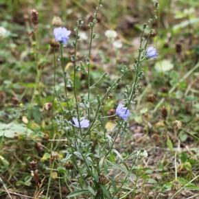 La Chicorée sauvage est une plante herbacée rameuse et robuste. Elle atteint un mètre de haut.