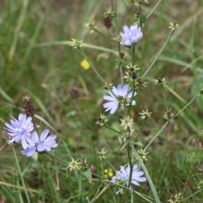 La Chicorée sauvage est une plante peu feuillue. Son nom vernaculaire de Laideron vient peut-être de ce fait.