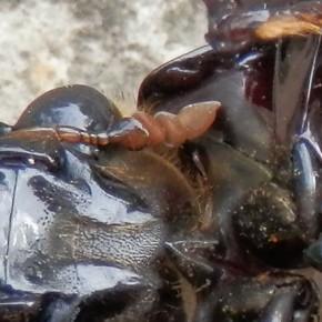 Les antennes sont courtes, terminées en massue, leurs poils hydrofuges servent à la captation de l'air.