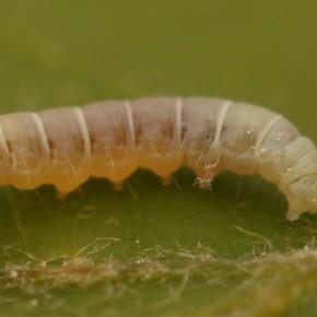 La chenille de Diurnea lipsiella possède quatre paires de fausses pattes abdominales, plus une anale.