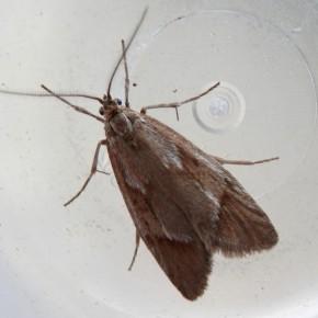 Malgré sa teinte uniforme brun clair, l'habitus de Diurnea lipsiella laisse apparaître des dessins géomètriques.