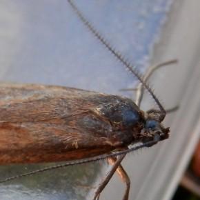 Les antennes de Diurnea lipsiella sont composées de multiples cils.