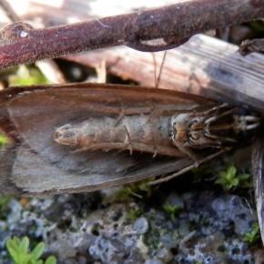Petit papillon, mais assez malin pour feindre la mort et passer inaperçu. Sur ce cliché, on voit les deux paires d'éperons sur la patte postérieure.