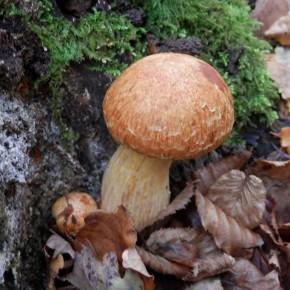Les jeunes Gymnopilus spectabilis ont un chapeau en boule, les lames sont protégées par un voile qui deviendra l'anneau.