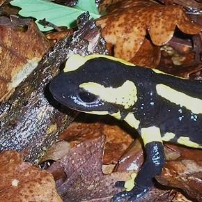 Salamandra salamandra terrestris, Lacepède, 1788 – La Salamandre terrestre