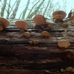 Le deuxième tronc est aussi envahi, les nombreux sporophores démontrent que le mycélium a envahi tout le bois.