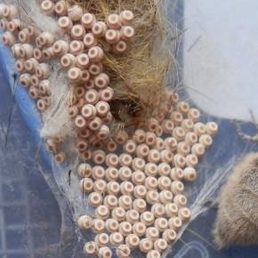 Une vue rapprochée des œufs, de l'ordre du mm, cette femelle va en pondre environ cent cinquante.