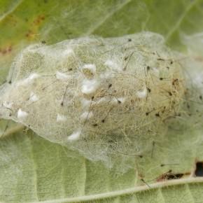 Un cocon collé sous une feuille de noisetier, l'enveloppe externe contient les poils des pinceaux de la chenille, poils noirs.