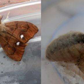 Mâle à gauche et femelle à droite. Le dimorphisme sexuel est impressionnant.