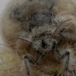 Bien que bipectinées, les antennes des femelles sont filiformes.