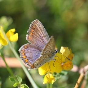 L'Azuré commun, femelle forme bleue.