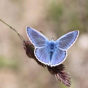L'Azuré commun, forme icarinus, mâle.
