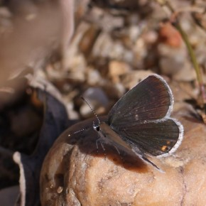 L'Azuré du trèfle, femelle.