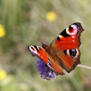 Papillon de jour