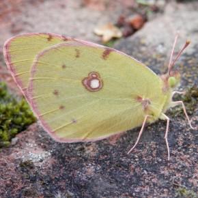 Le Souci, femelle f. helice.