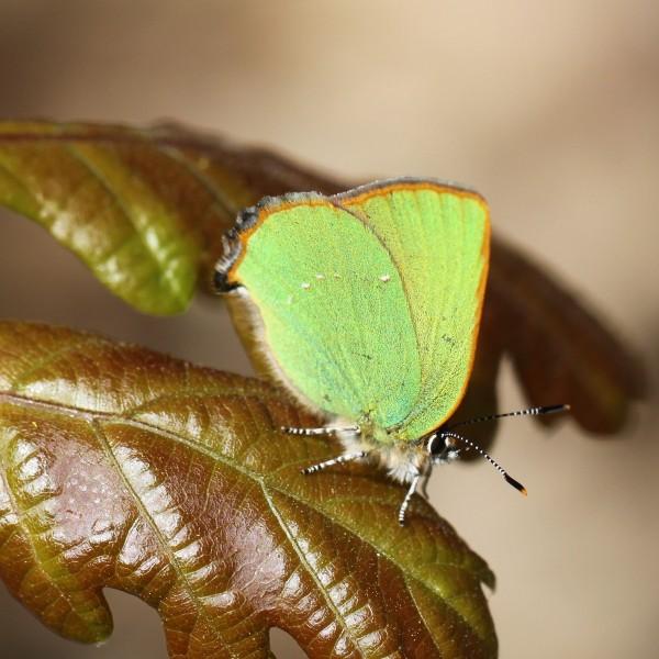 L'Argus vert