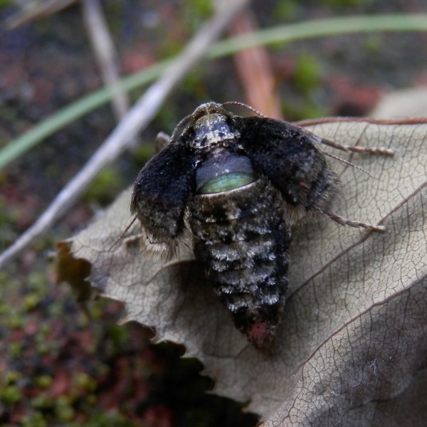 L'Hibernie hâtive, femelle.
