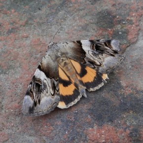 Papillon de nuit. Erebidae
