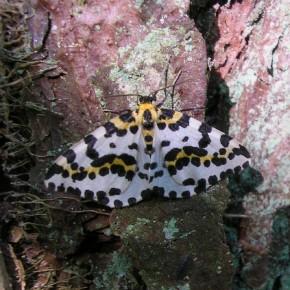 Papillon de nuit. Geometridae : Ennominae.
