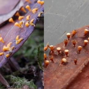 Photo montage des deux stades de Craterium minutum, trouvés le même jour dans de la litière de hêtre.