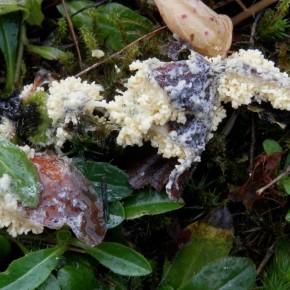Le plasmode est jaune pâle, il colonise le support à la recherche de nourriture.