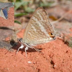 Nouvelle visite d'un mâle le 2 septembre, de 26 à 36 mm d'envergure, il ne passe pas inaperçu.