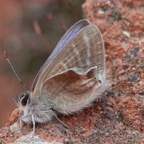 Le 1 octobre, soit trente jours après les premières chrysalides, émerge un mâle dont les ailes postérieures sont mal formées.