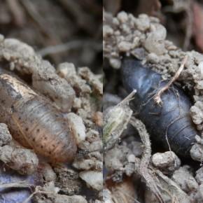 Double vue des chrysalides, à gauche après l'émergence du papillon, à droite le papillon est encore dans la boîte.