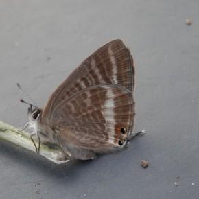 Le 8 octobre, émergence d'une femelle, plus grande que le mâle, le revers est plus foncé.