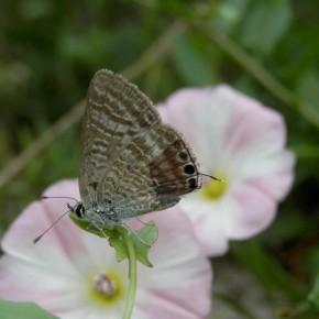 Le 8 août, encore une femelle de passage dans le jardin à l'orée de la forêt d'Orléans.