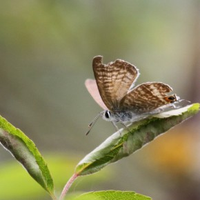 Le 13 août, une femelle fait la navette entre les fleurs de pois de senteur et les feuilles de rosier juste au dessus.