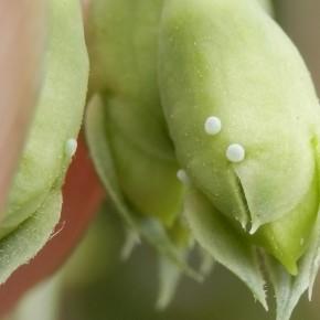 Les œufs pondus à Chécy le 13 août sur les boutons floraux. A peine un millimètre de diamètre.