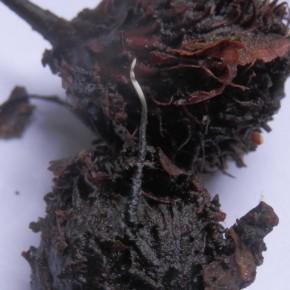 Xylaria carpophila gréffée sur le dessus d'une cupule.