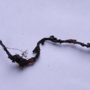 Très fin, le stipe de la Xylaire des faînes peut atteindre les dix centimètres.