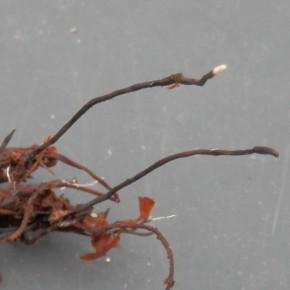 La Xylaire du bas est au stade parfait,  partie distale boursouflée par la présence des périthèces. C'est le téléomorphe. Le champignon est noir.