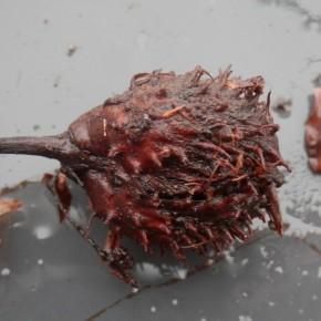 Une cupule de hêtre de l'année, je n'ai pas trouvé de Xylaria carpophila dessus. Trop jeune, pas assez décomposée, pas assez enfouie, ... ?