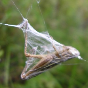 Un criquet ou une sauterelle attend dans une enveloppe de soie de servir de repas. C'est sûrement le mets préféré de l'Epeire frelon.