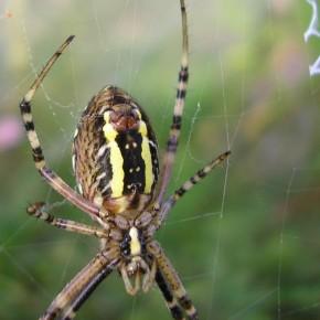 Le dessous est caractéristique de l'espèce. Les glandes filières et l'épigyne sont bien visibles.
