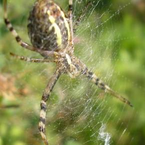 Le centre de la toile où l'araignée est en poste de chasse, est tissé plus finement.