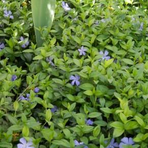 Un massif dense dans un jardin, sert de couvre-sol. La multiplication des pieds par division des souches est aisée.