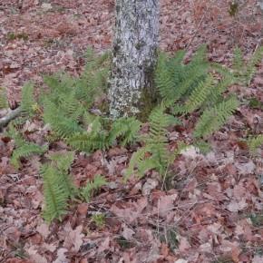 Un joli exemplaire de Polypode vulgaire au pied d'un chêne. Les frondes font trente centimètres de long.