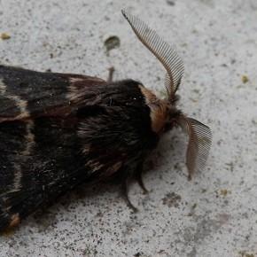 Poecilocampa populi (Linnaeus 1758) - Le Bombyx du peuplier